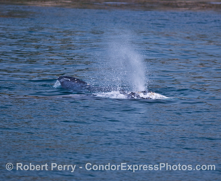 Socializing gray whales:  two whales are shown.  One whale spouts while the whale in the back rolls on its side.
