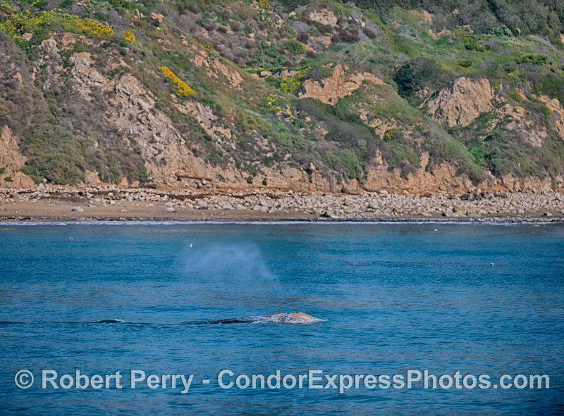 Southbound gray whale close to the Santa Barbara shoreline.