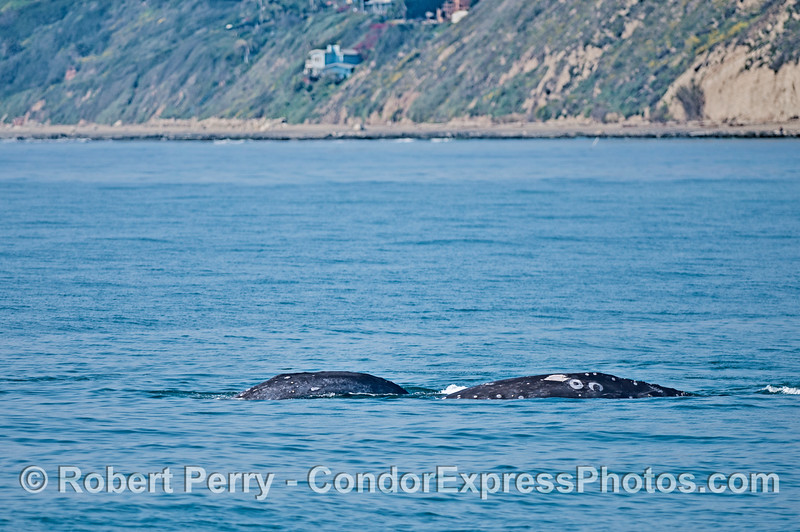 Two southbound gray whales temporarily moving west as they circled around near the shore.
