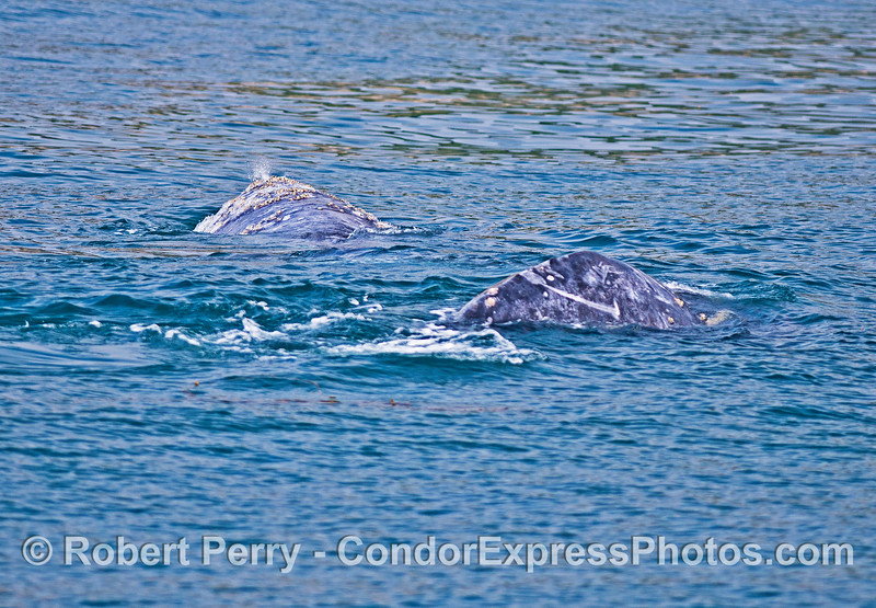 Two gray whales.