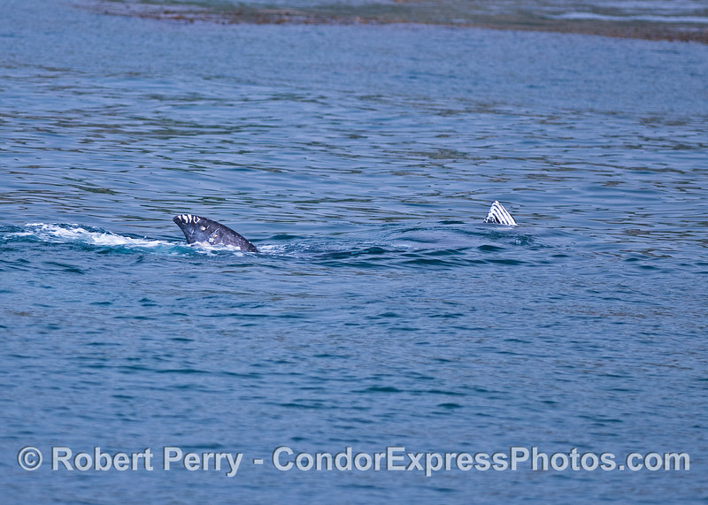 Two whales on their side with the tips of their flukes showing.