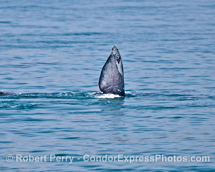 One-half of a tail fluke - gray whales socializing underwater?