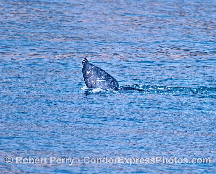 Tail fluke - gray whale.