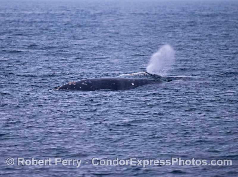 Two gray whales side by side.