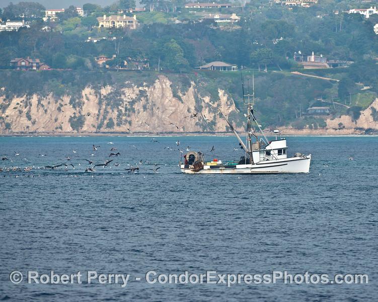 The commercial trawler Cecelia attracts numerous sea birds.