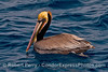 A colorful brown pelican sits on the water.