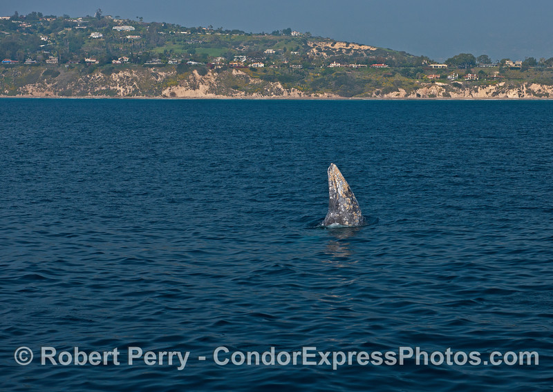 The Santa Barbara coastline is seen in the background of a spy-hopping gray whale.
