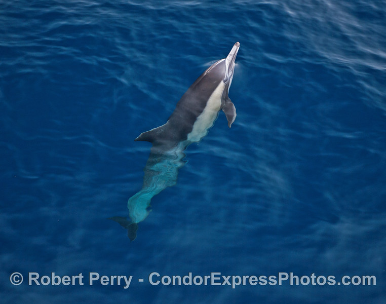 Long-beaked common dolphin with its nose out of the clear blue water.