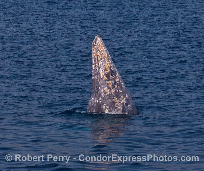 A very tall spy-hop from a friendly gray whale.