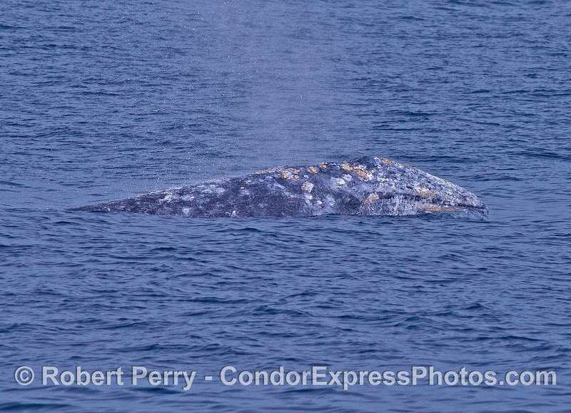 A migrating gray whale lifts its head.