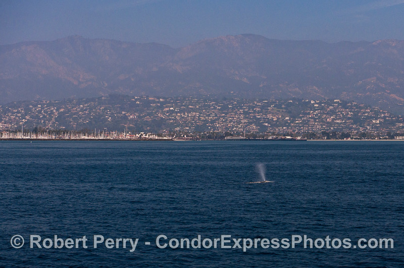 Santa Barbara Harbor, Stern's Wharf, the City and a gray whale.