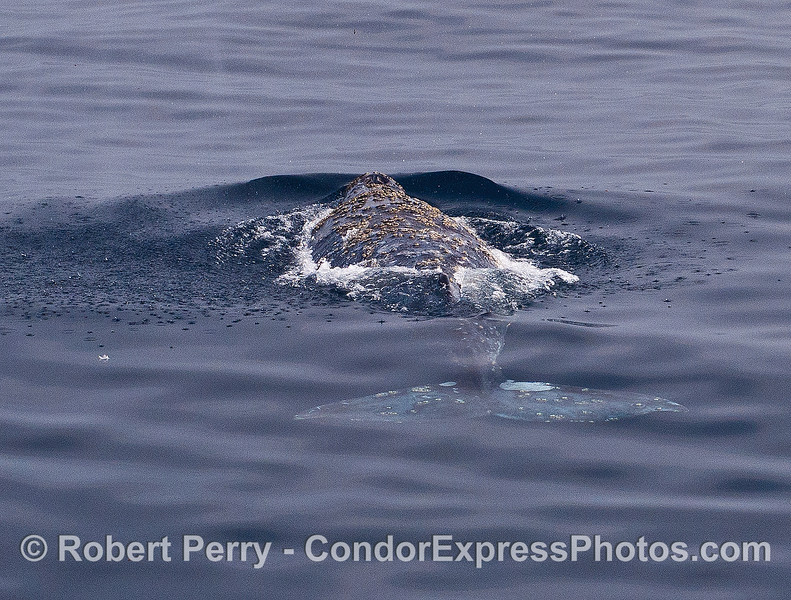 Image 3 of 3:  a gray whale rises up directly in front of the boat.