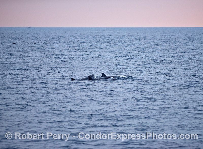 Sunset and false killer whales