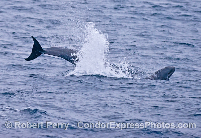 False killer whale -  leaping adult and calf.