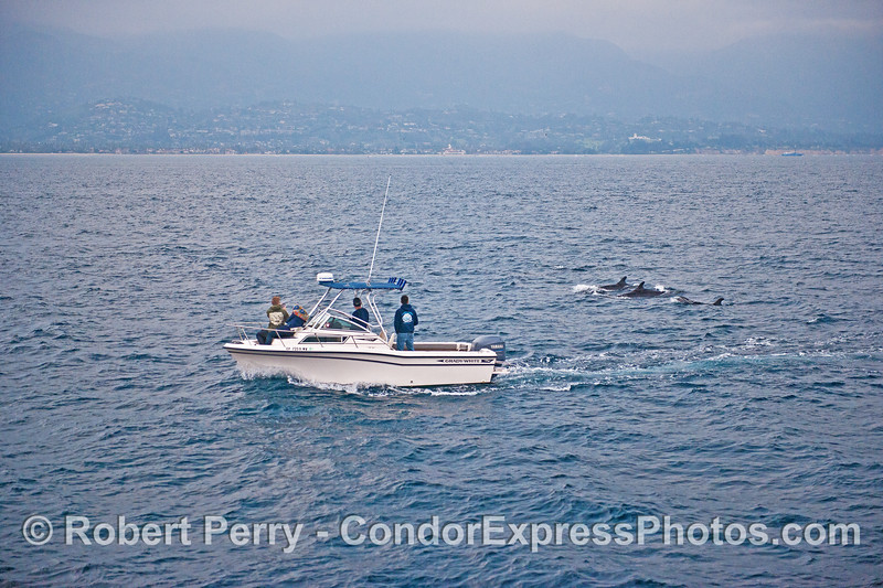 Captain Dave and his entourage enjoy a close look at the False killer whales from the Grady White.