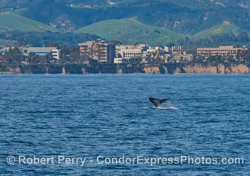 The UCSB campus creates a backdrop for a gray whale heading north.