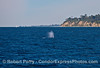 Santa Barbara Point and its light tower and a sailboat rounding the bend share the ocean with a spouting gray whale.
