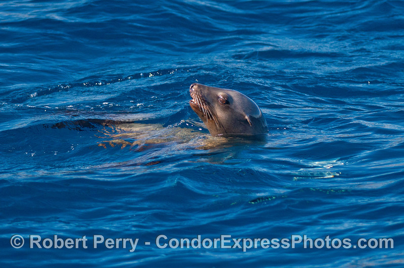 Portrait of a California sea lion.   This animal was feeding on a small flatfish (the white glow under the water).