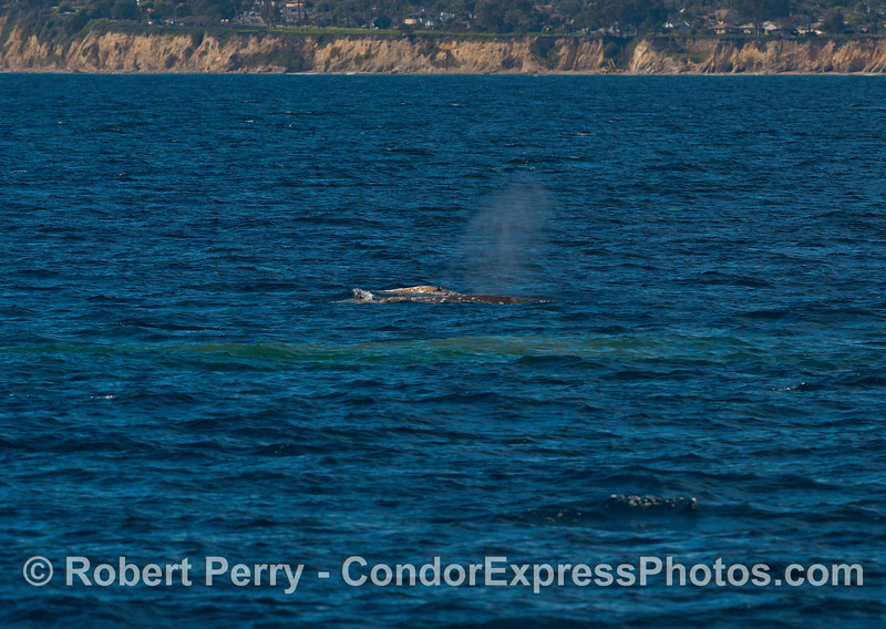 Image 1 of 2:  Evidence of bottom feeding?  A mud plume forms on the surface in 120 feet of water as a trio of gray whales come to the surface.