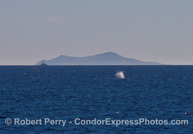 A whale spouts in the Santa Barbara Channel with Anacapa Island in back.