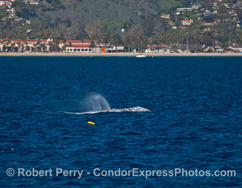 The colorful Santa Barbara coastline frames the spout of a migrating gray whale in blue water.