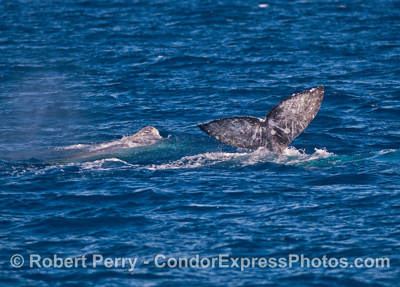 Two gray whales and one nice tail fluke.