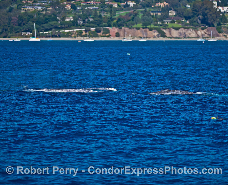 Three gray whales.