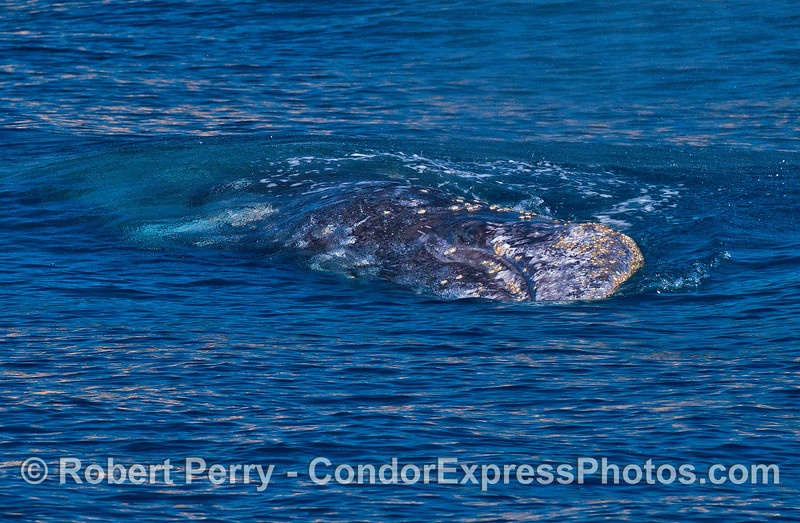 Image 2 of 4:   a gray whale rolls on to its side.