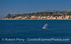 Santa Barbara Point and two northbound gray whales.  (One whale is seen underwater as a blue streak)