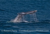 Image 2 of 2:   a gray whale shows its tail flukes.