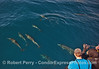 Image 2 of 2:  Friendly long-beaked common dolphins visit their fan club