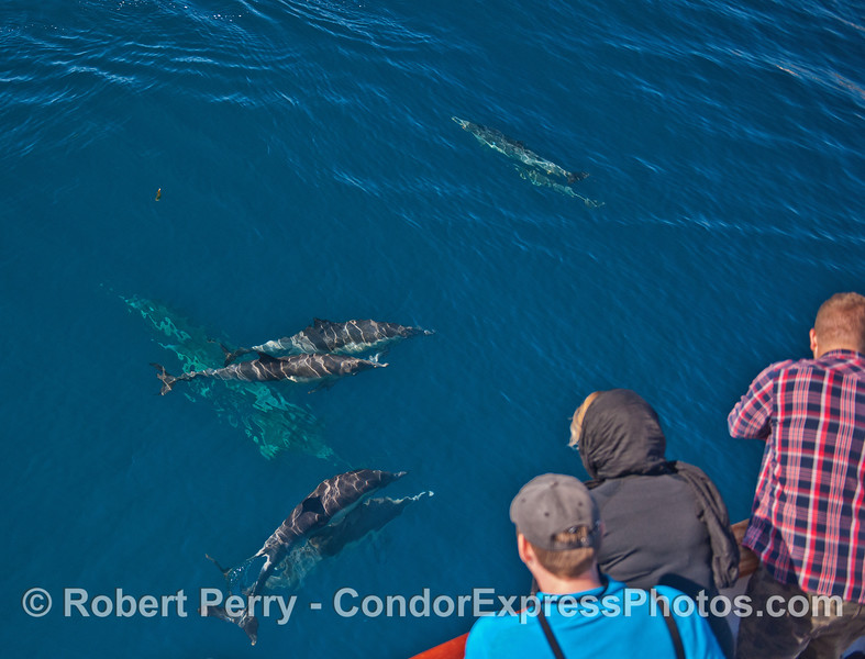 Image 1 of 2:  Friendly long-beaked common dolphins visit their fan club.