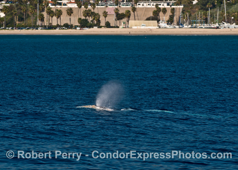 Santa Barbara City College Vaquero stadium is seen behind these two northbound migrating gray whales.  Football with a great view!