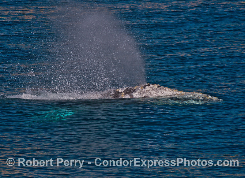 A side look at a spouting gray whale.