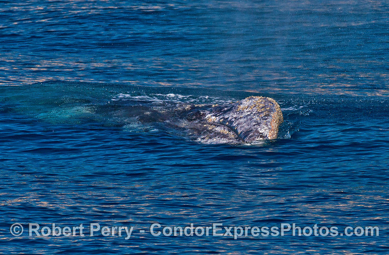Image 1 of 4:   a gray whale rolls on to its side.
