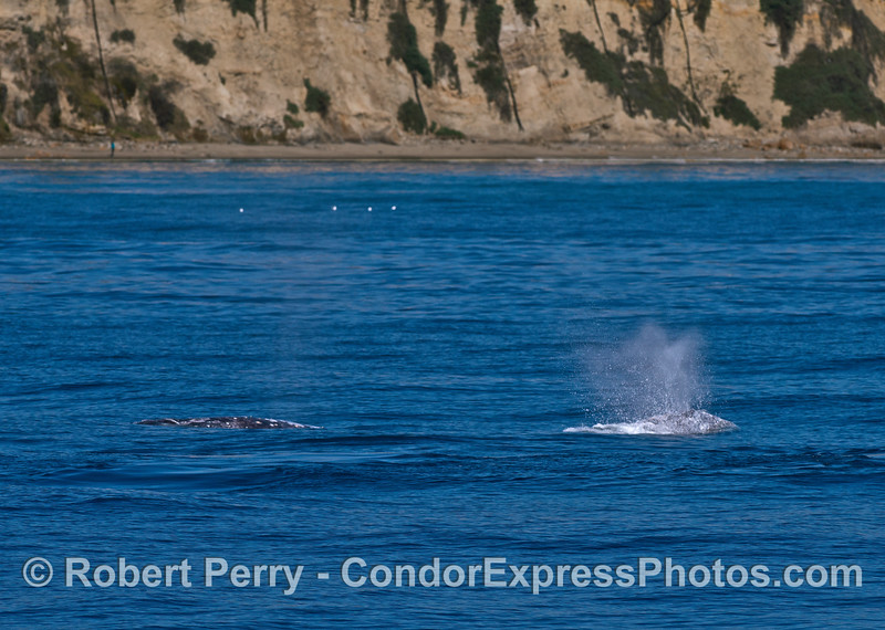 Two southbound gray whales migrate near the Santa Barbara coast.