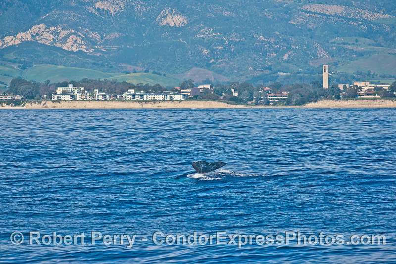 UCSB and a gray whale.