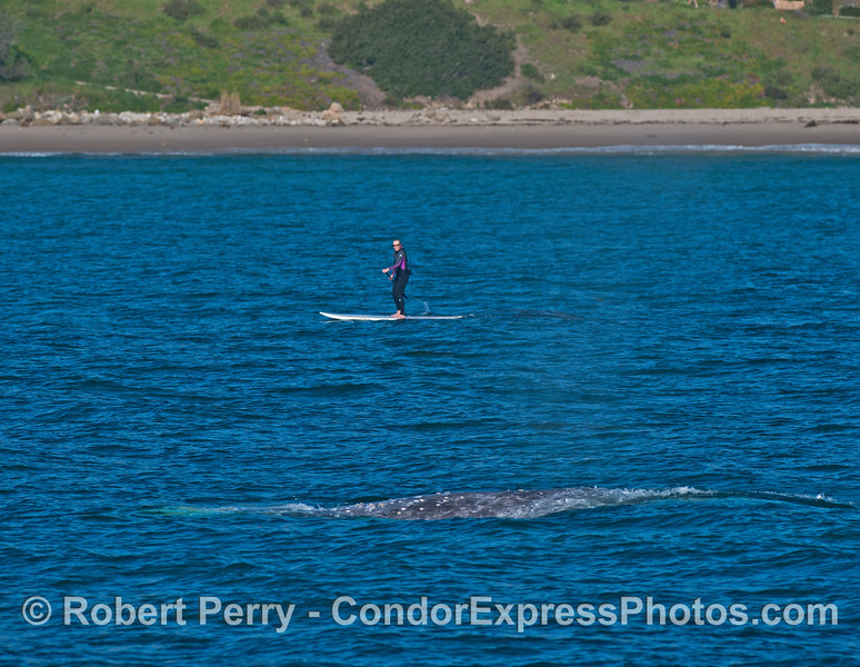 An SUP'r gets dangerously close to a migrating gray whale.   If it had been a mother and her calf, there could have been a bigger problem.
