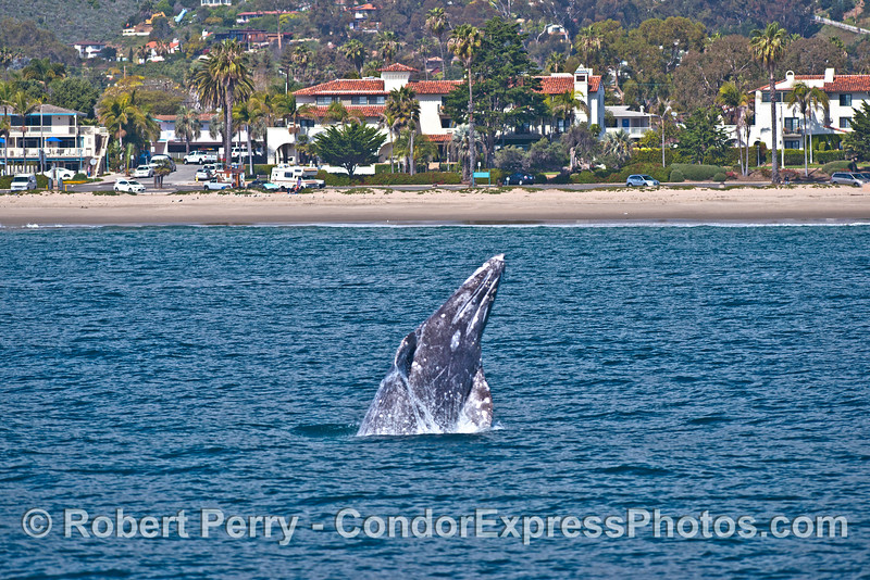 Image 1 of 4:  A gray whale breach at East Beach Santa Barbara.