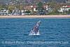 Image 1 of 4:  A gray whale breach at East Beach Santa Barbara.
