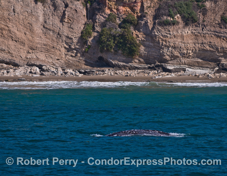 Very coastal northbound gray whale with beach and sea cliffs in back.