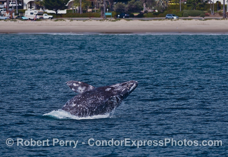 Image 3 of 4:  A gray whale breach at East Beach Santa Barbara.