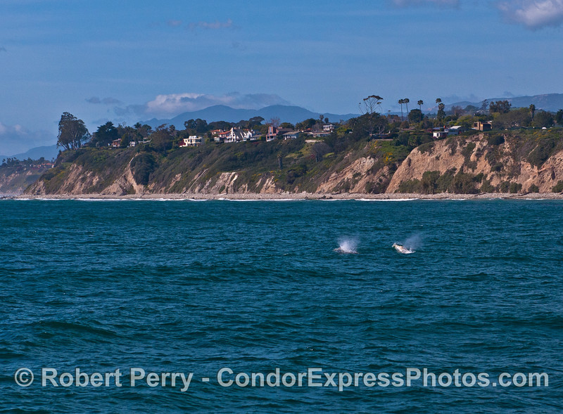 Two gray whales spout in the breeze as they head up the coast of Santa Barbara.