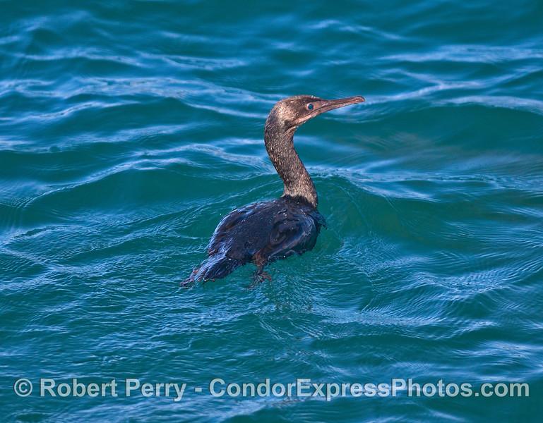 Brandt's cormorant.
