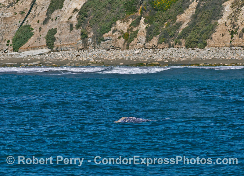 Another shallow water coastal beach-hugging gray whale.