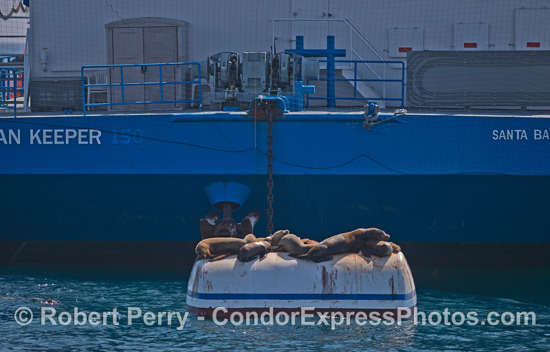 "The mooring can for the ""Ocean Keeper"" barge provides a fine resting place for California sea lions."