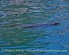 Pacific harbor seal drifts along inside Santa Barbara Harbor.