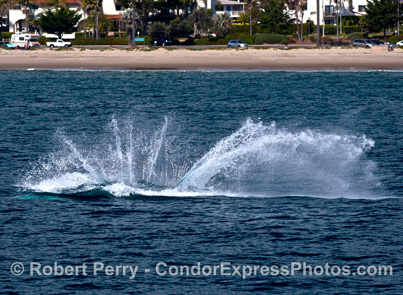Image 4 of 4:  A gray whale breach at East Beach Santa Barbara.