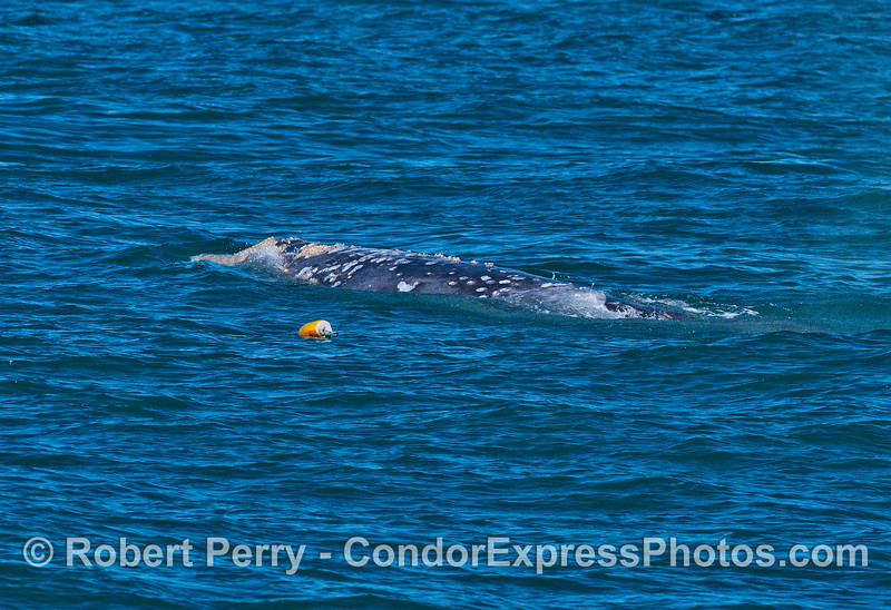 A gray whale swims very close to a lobster trap.