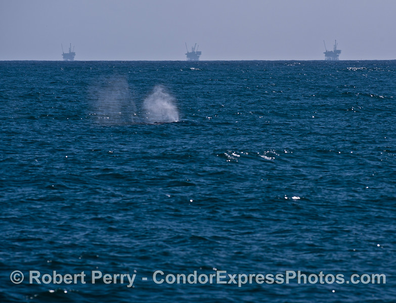Offshore oil platforms C, B and A are seen as a background to a spouting gray whale.